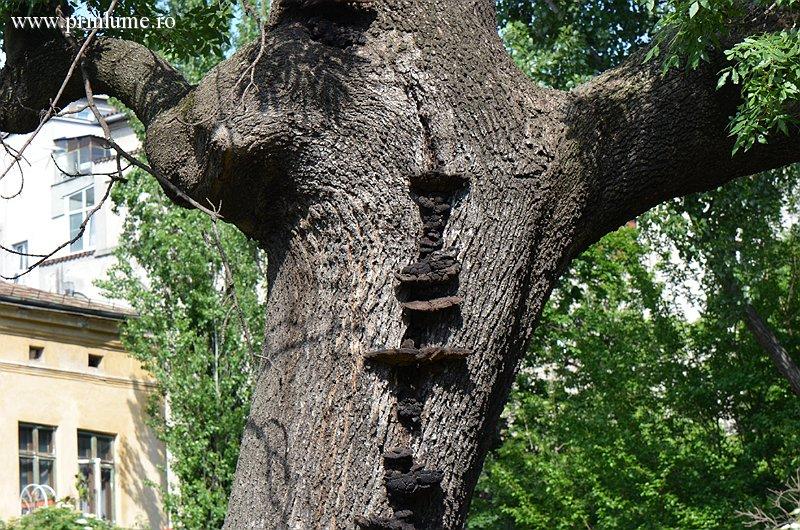 Copac, Cismigiu, Bucuresti